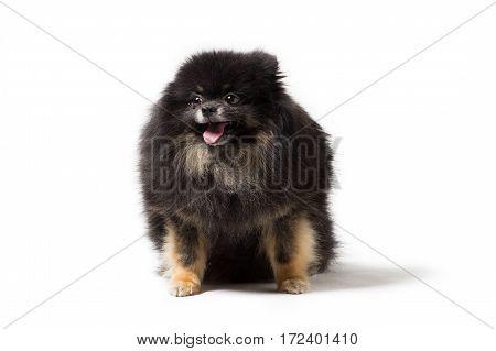 Black dog breed Pomeranian isolated on white