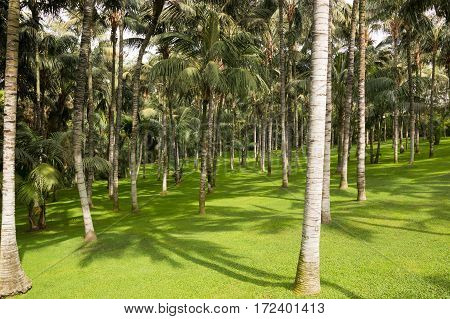 Palm trees in tropical park in Tenerife Spain