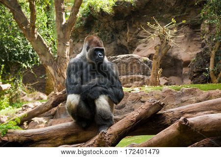 Portrait of big black gorilla at the zoo on brown-green background outdoor in Loro Park Tenerife Canary islands Spain