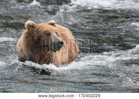Alaskan Brown Bear In Water