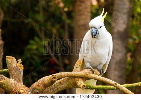 White cockatoo in Loro Park in Tenerife Canary islands Spain