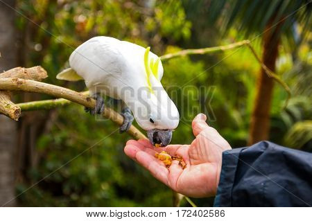 Feeding of White cockatoo in Loro Park in Tenerife Canary islands Spain