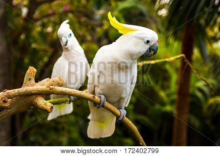 Two white cockatooes in Loro Park in Tenerife Canary islands Spain