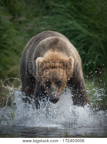 Large Brown Bear Running