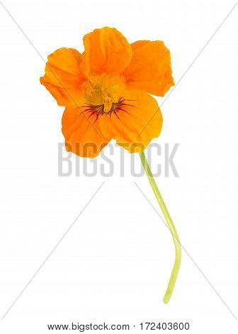 Nasturtium Leaf With Flower