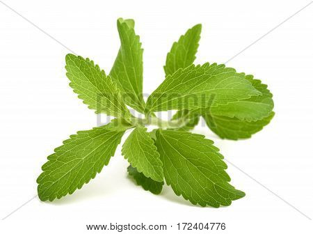 Stevia Rebaudiana Sprig