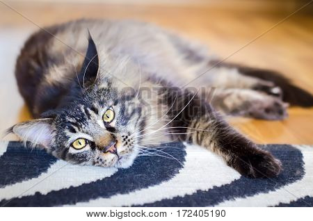 Brown Sad Cat Tabby Maine Coon on the Carpet, Selective Focus, Cat Portrait at Home