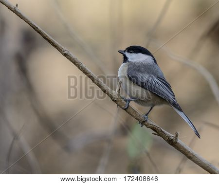 A Black-Capped Chickadee (Poecile atricapillus) shown in left profile as it moves up a branch in York County Pennsylvania, USA.