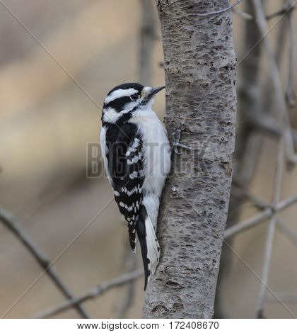 A Downy Woodpecker (Picoides pubescens) searching a tree trunk for food in York County Pennsylvania, USA,  Seen in right profile.