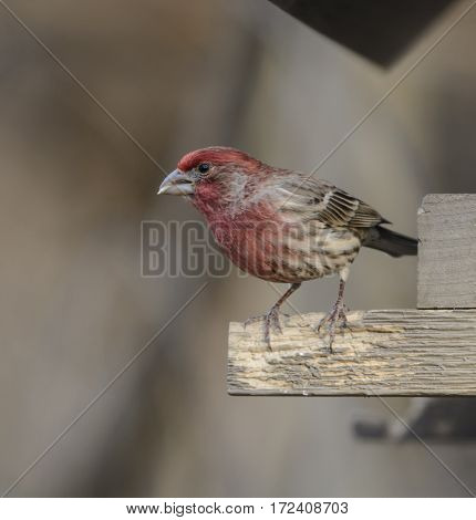 A House Finch (Haemorhous mexicanus) sitting on the edge of a birdfeeder in York County Pennsylvania, USA.