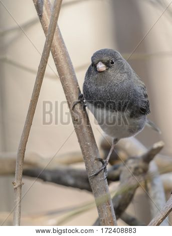 A Slate-Colored Junco (Junco hyemalis) clinging to a branch as it looks into the camera in York County Pennsylvania, USA.