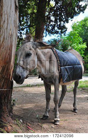 a donkey tethered to tree Abkhazia 2016