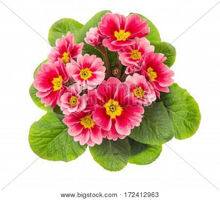 Spring flowers primrose. Pink primulas isolated on white background