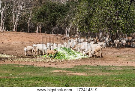 Thai Oxen And Cows Eat Pile Of Cabbage In Rural Scene