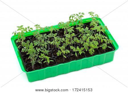 Vigorous tomato seedlings in germination tray - isolated