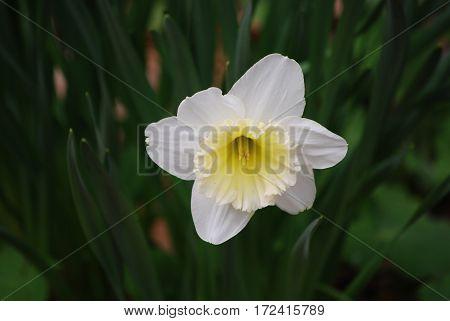 Flowering white daffodil flower blossom flowering in Spring.