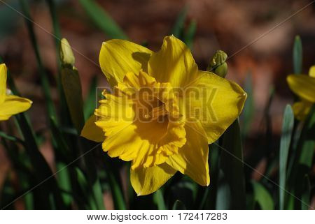 Very pretty blooming yellow daffodil in bloom.