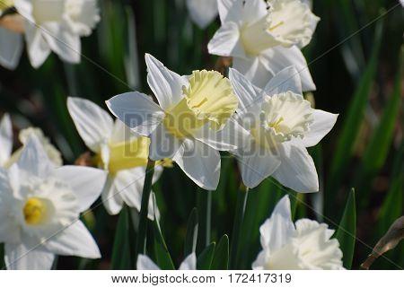 Garden with white daffadowndlilly flowers in bloom.