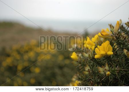 Gorse Flowers on gorse covered hill in Aberdeenshire