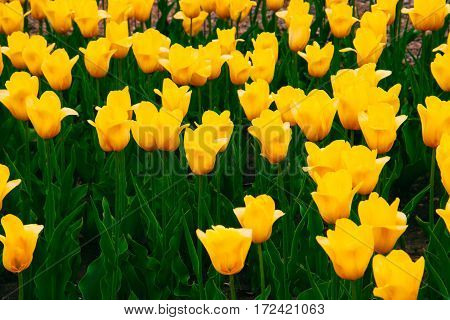 many yellow tulips growing on a large beautiful flowerbed