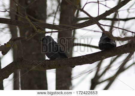 Pair of black birds - raven jackdaws on the tree branches close up