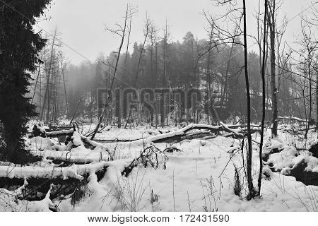 Fallen trees near meander of Robecsky potok creek in winter snowy Peklo valley in czech Machuv kraj region