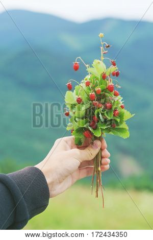 The wild strawberry bouquet in the hand.