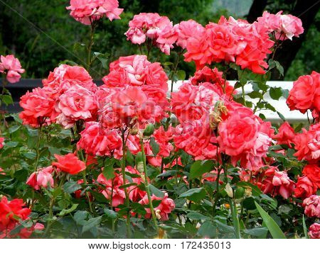 Many red roses flowers growing in the flowerbed.