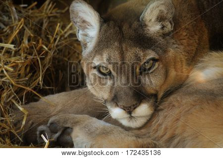 A close up of an adult puma