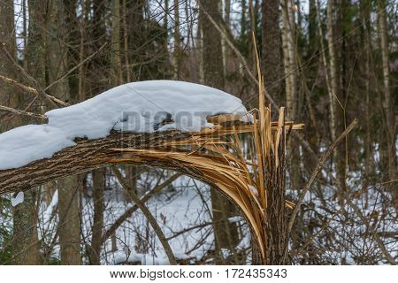 Broken trunk of a small tree covered with snow on the background of unsharp wood.
