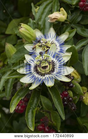 beautiful closeup of passionflower Passiflora caerulea mixed with honeysuckle berries and leaves