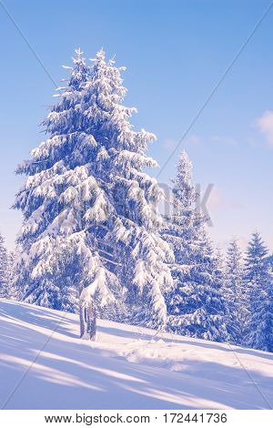 Magic Winter Landscape With Snow Covered Pine Trees