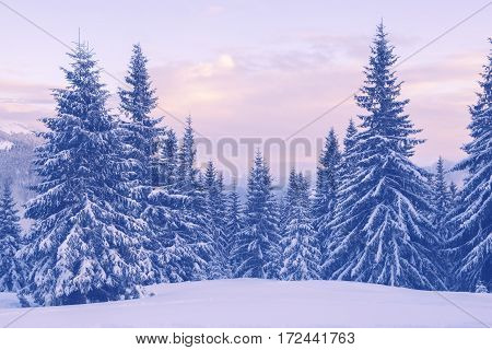 Snow Covered Pine Trees In The Winter Mountains During A Dusk