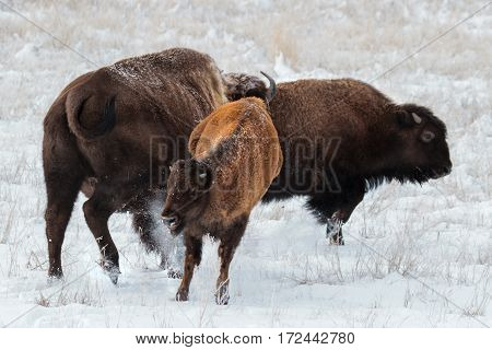American bison roam the planes of Colorado.