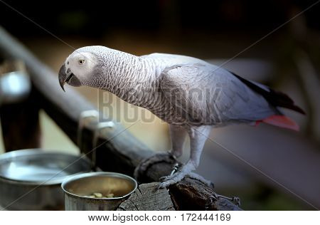 Photo handsome gray parrot Jaco at the trough