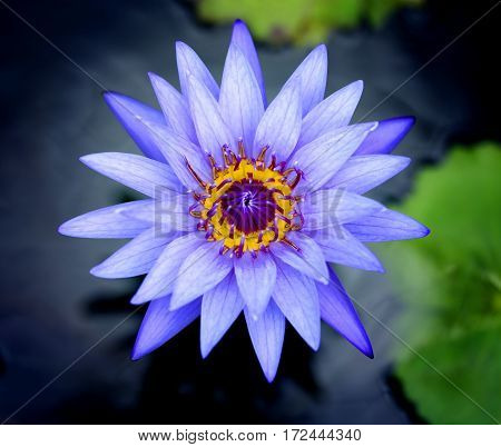 Photos bright purple water lilies in a pond