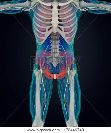 Ilium bone, human anatomy. Xray image. 3D illustration.