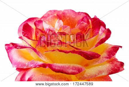 Rose isolated on white background. Pink Rose closeup .