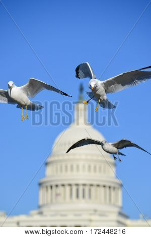 Washington DC - Seagull and The Capitol