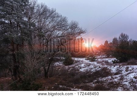 winter pine forest in the snow at sunset. winter background.