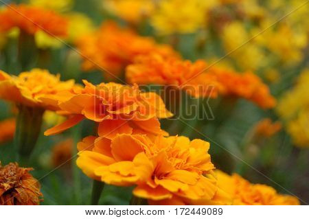 Orange flowers with green background, flowers in foreground are in focus and background is blurred.