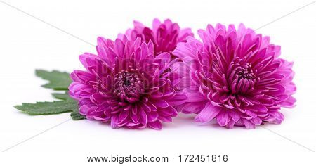 Three pink chrysanthemums isolated on white background.