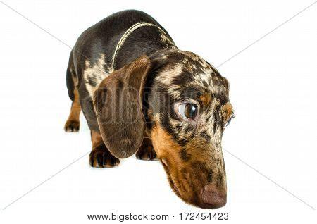 Short Marble Dachshund Dog, Hunting Dog, Isolated Over White Background