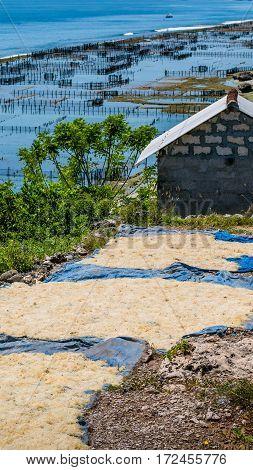 Dry Algal on the Ground near seaweed plantations - Nusa Penida, Bali, Indonesia.