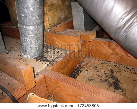 Rodents droppings in an attic after exterminator removed insulation, exposing infestation