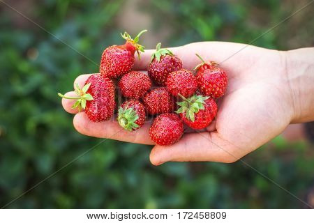 Strawberry on woman arm. Fresh berry picking