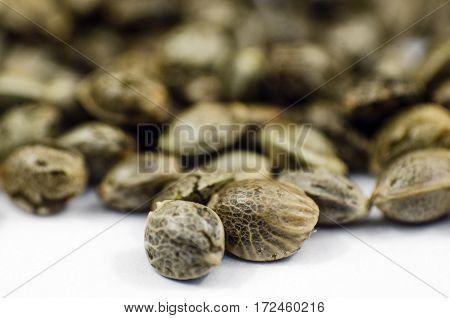 Detail Closeup View Of Medical Marihuana Seeds