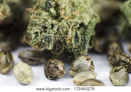 Detail Closeup View Of Medical Marihuana Seeds And Bud