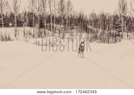 Siberian Husky in the winter forest in cloudy day. tinted