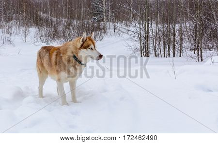 Siberian Husky playing in the winter forest, close up.
